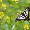 Zebra Swallowtail - Shawnee State Forest - April 29, 2011