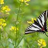 Zebra Swallowtail - Shawnee State Forest - April 29, 2011