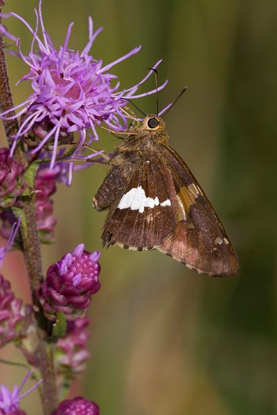 Silver-spotted Skipper - Epargyreus clarus - August 2008