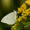 Cabbage White - Pieris rapae - August 2008