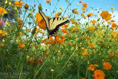 Eastern Swallowtail Butterfly on Cosmos -- DSC_BeaumontPottery1_035