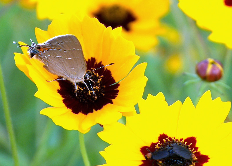 Hairstreak and Love bugs on Coreopsis<br /> College Station, TX<br /> © WEOttinger, The Wildflower Hunter - All rights reserved<br /> For educational use only - this image, or derivative works, can not be used, published, distributed or sold without written permission of the owner.