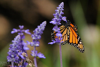 Monarch Butterfly on purple Salvia -- DSC_0989