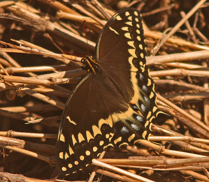 Black Swallowtail (Myaaka State Park), Sarasota Florida