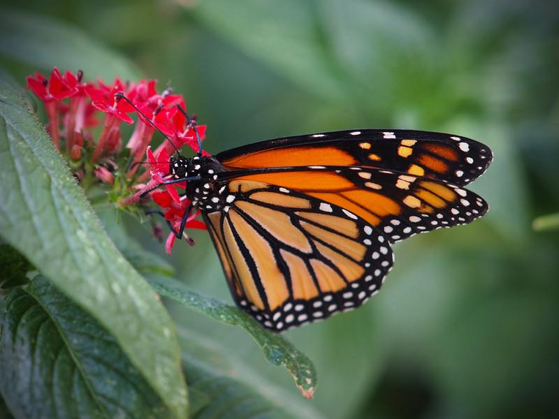 Monarch at Boston Butterfly Garden - 30 Mar 2011