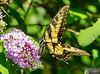 20130817_Butterflies_133-Edit