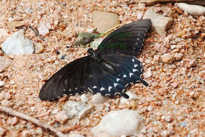 Butterfly4144