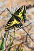 Swallowtail5632