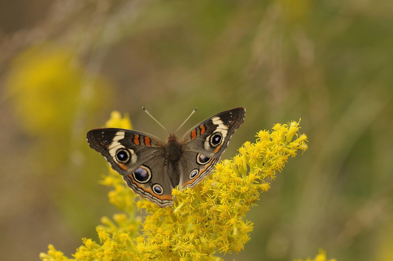 Buckeye butterfly. Riverlands Migratory Bird Sanctuary. St. Charles County, Missouri, September 2009.