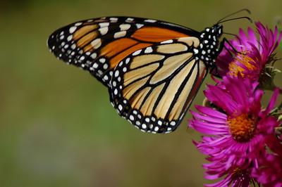 Butterflies_2006-10-08_30