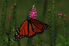 Monarch Butterfly - Daneus plexippus