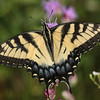 Tiger Swallowtail - August 2006 - Oak Openings Metropark