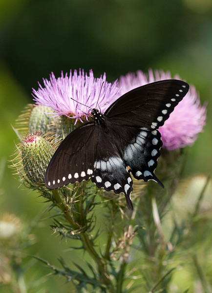 Spicebush Swallowtail - Papilio trolius - August 2008