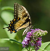 20130817_Butterflies_152-Edit