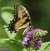 20130817_Butterflies_152-Edit