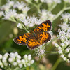 Pearl Crescent on Boneset - August 28, 2010