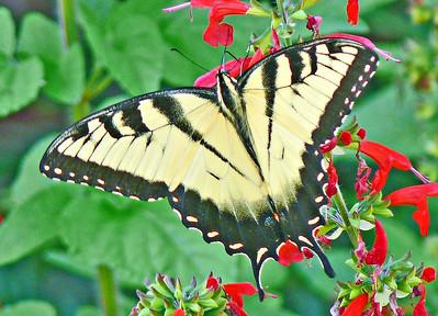 Male Eastern Tiger Swallowtail