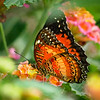 Leopard Lacewing at Butterfly Jungle - 15 Mar 2013