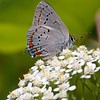 Acadian Hairstreak - June 26, 2011