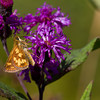 Peck's Skipper on Ironweed - Oak Openings Region - August 2010