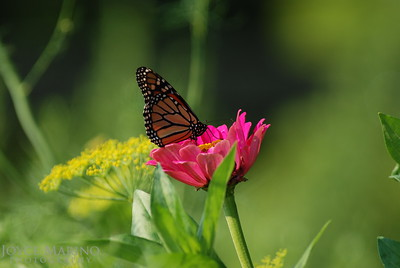 Monarch Butterfly on pink Zinnia -- DSC_0229