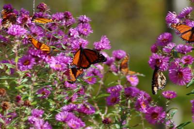 Butterflies_2006-10-08_38