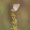 Gray Hairstreak - August 7, 2010 - Oak Openings region