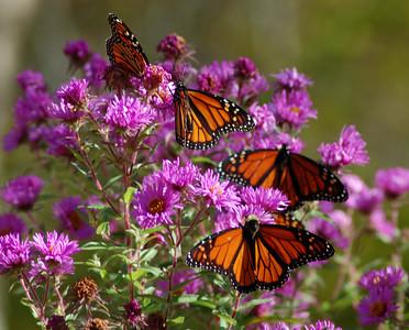 Butterflies_2006-10-08_40