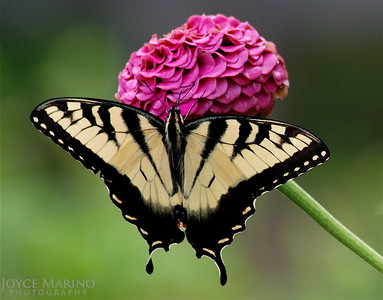 Eastern Swallowtail Butterfly on pink Zinnia (close up) -- DSC_0144,