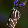 Zebra Longwing at Butterfly Jungle - 4 Apr 2014