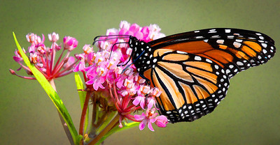 Monarch  08 06 10  056 - Edit