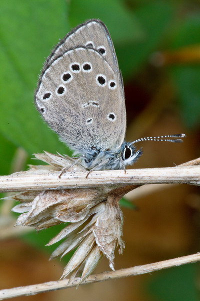 Silvery Blue - Shawnee State Park - April 29, 2011