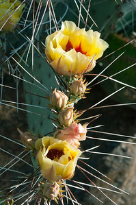 Beginning Yellow Blooms of Cactus in the Springtime