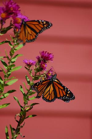 Butterflies_2006-10-08_2