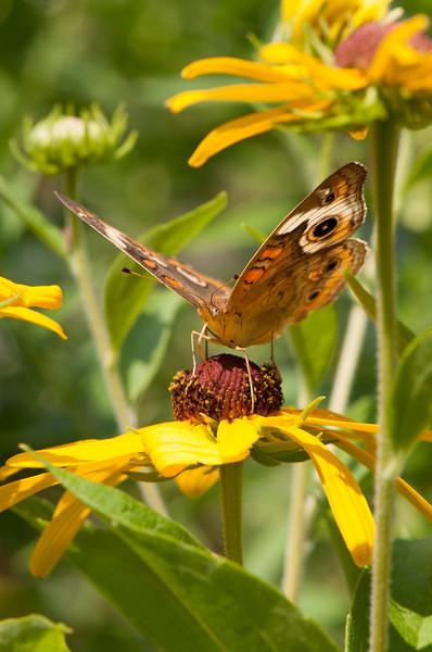Buckeye Butterfly (8)