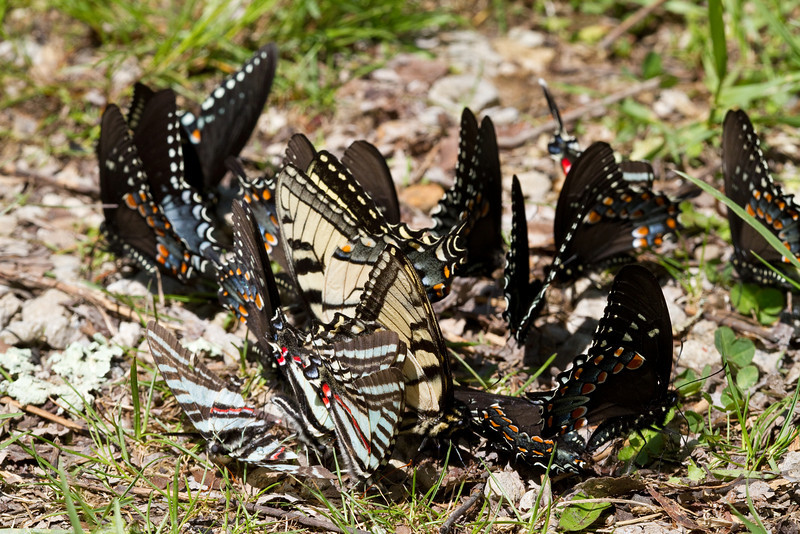 Swallowtails pooling - Shawnee - April 2011