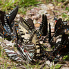 Swallowtails pooling - Shawnee - April 2011