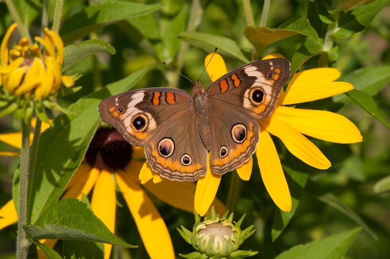 Buckeye Butterfly (9)