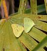 Sulphur butterflies, mating