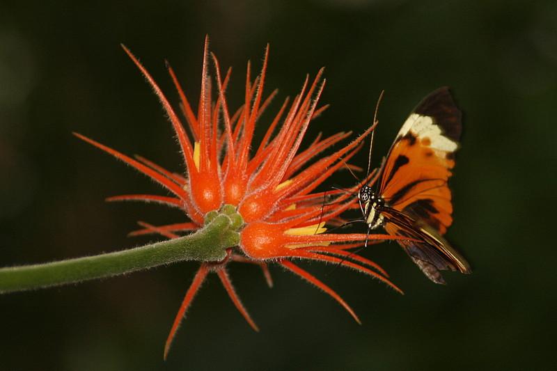 Lycorea halia