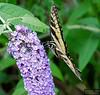 20130817_Butterflies_204