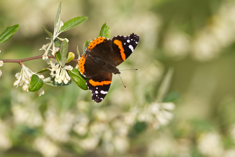 Red Admiral - Magee Marsh - May 3, 2012