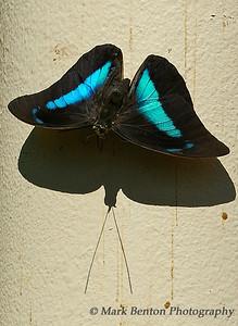 Me & My Shadow Blue & Black Butterfly