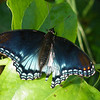 Red Spotted Purple Butterfly (Limenitis arthemis)