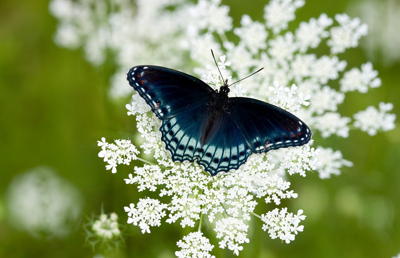 Red-spotted Purple on Queen Anne's lace - ONWR - July 2008