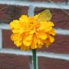 Little Yellow (Pyrisitia lisa lisa)