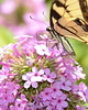 Butterfly - Swallowtail - Eastern Tiger (Papilio glaucus) - Photo Taken: August 4, 2016