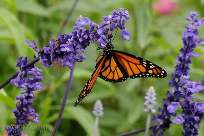 Monarch Butterfly on purple Salvia -- DSC_1018