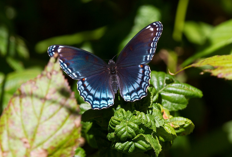 Red spotted Purple - Oak Openings region - August 2010
