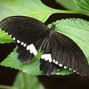Common Mormon (male) at The Butterfly Place - 29 Mar 2011